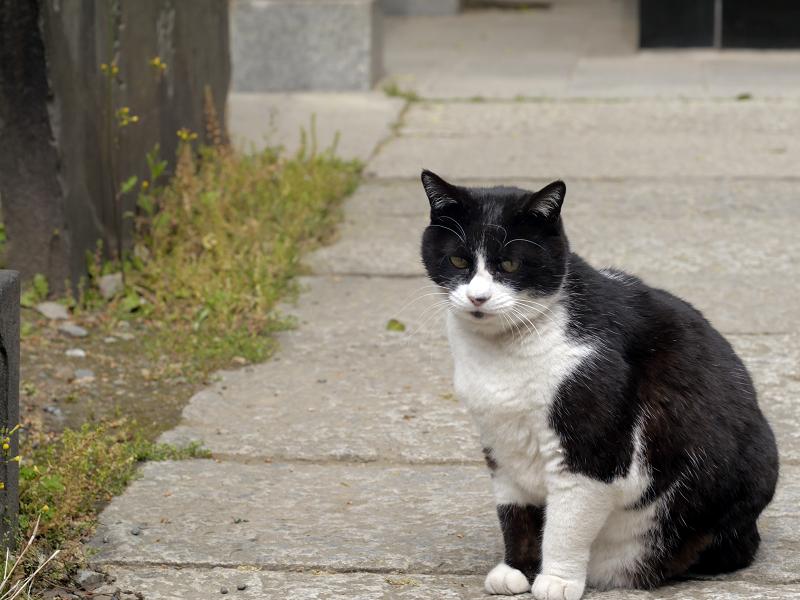 石参道の黒白猫2