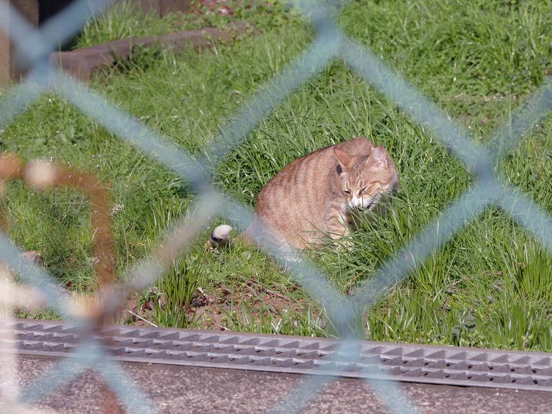 1金網の向こうの草むらの茶猫1