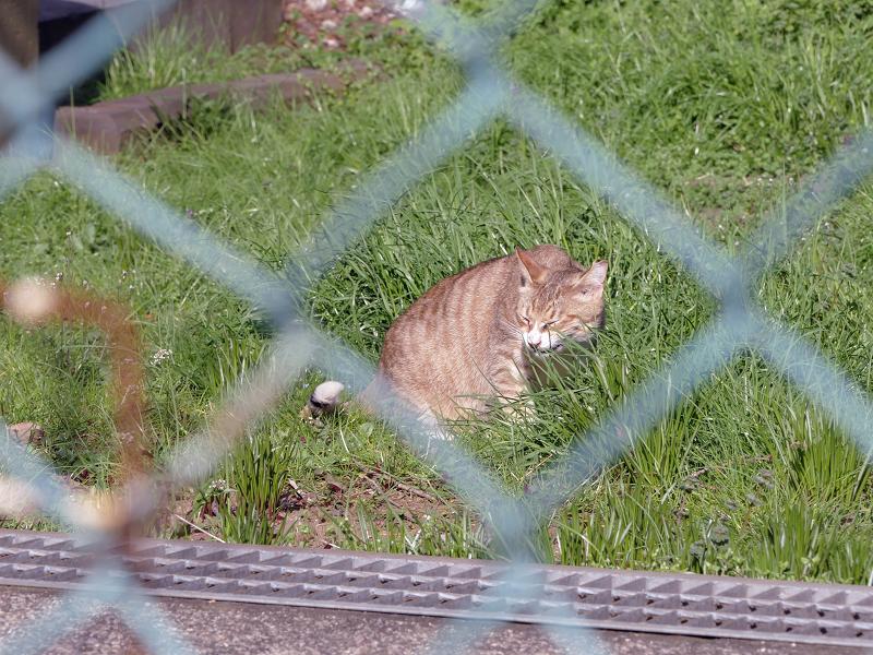 金網の向こうの草むらの茶猫2
