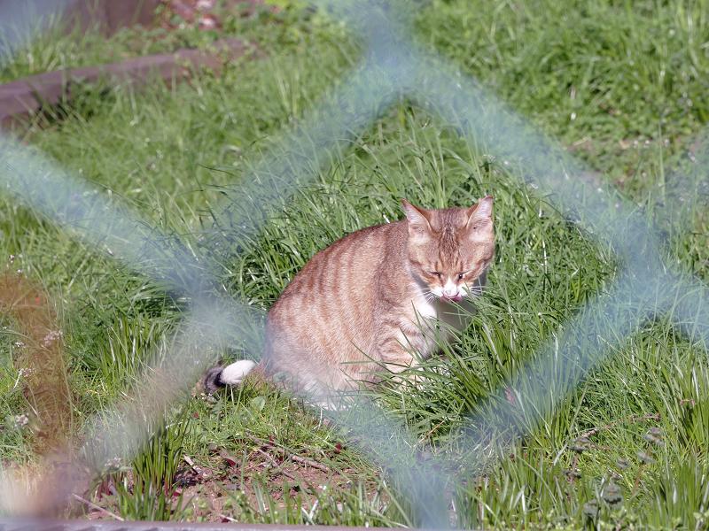 金網の向こうの草むらの茶猫3
