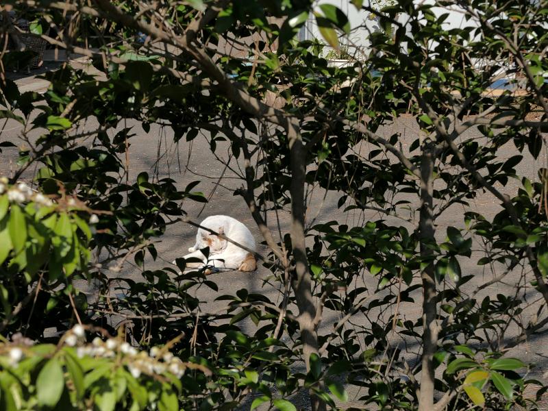 茂み越しの白茶猫1