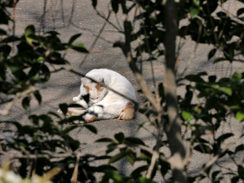 茂み越しの白茶猫2