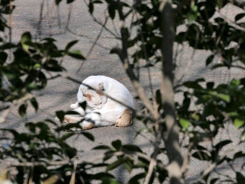 茂み越しの白茶猫3