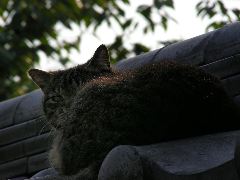 塀の瓦とキジトラ猫