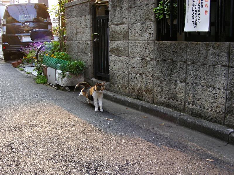 路地玄関前の三毛猫1