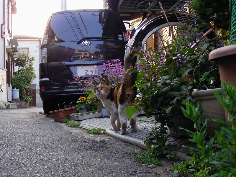 路地玄関前の三毛猫2
