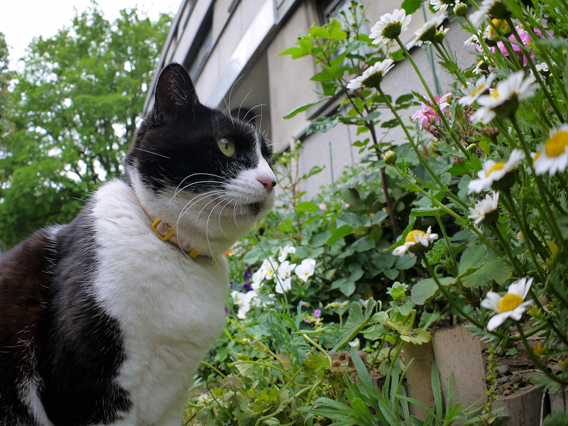 花壇前の黒白猫2