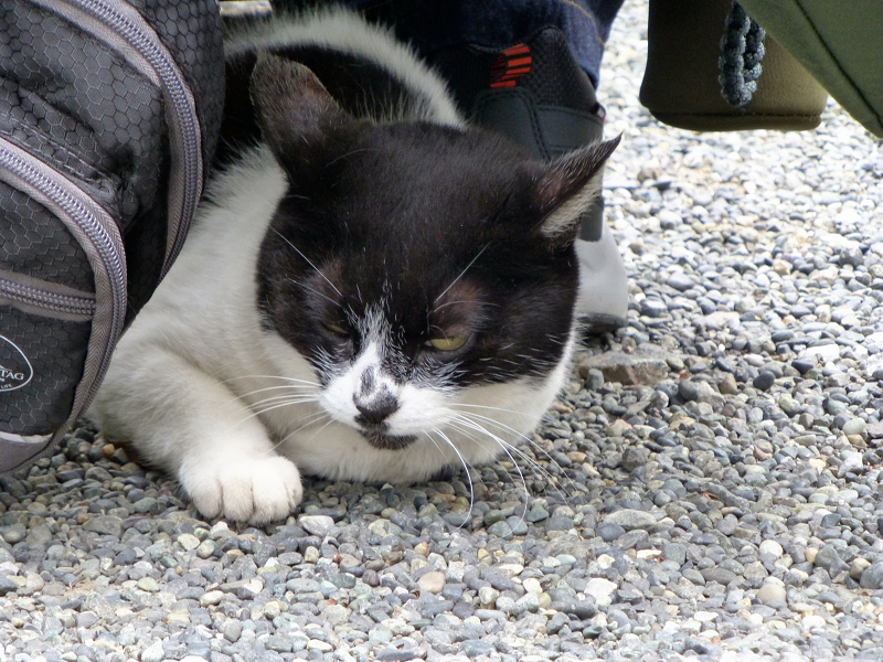 尻の下にいる白黒猫2