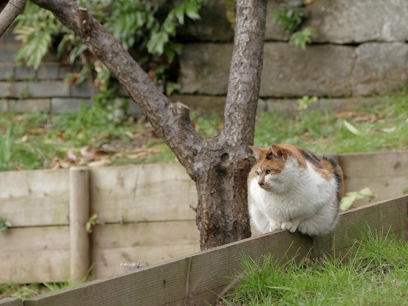 公園の仕切り柵の白三毛猫1