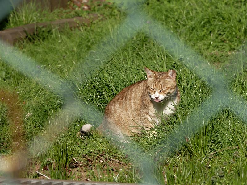 金網向こうの草むら猫1