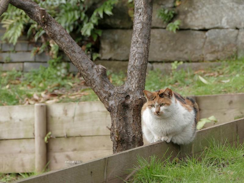 公園の仕切り柵の白三毛猫2