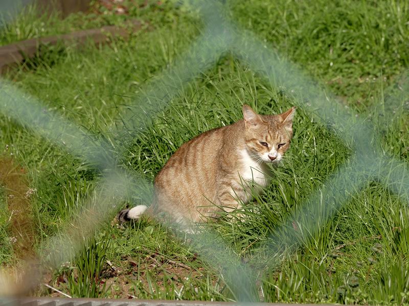 金網向こうの草むら猫2