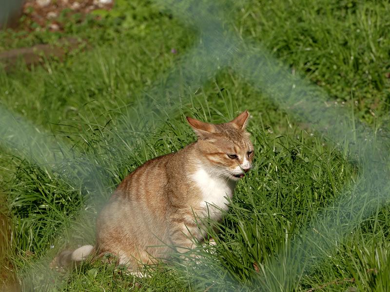 金網向こうの草むら猫3