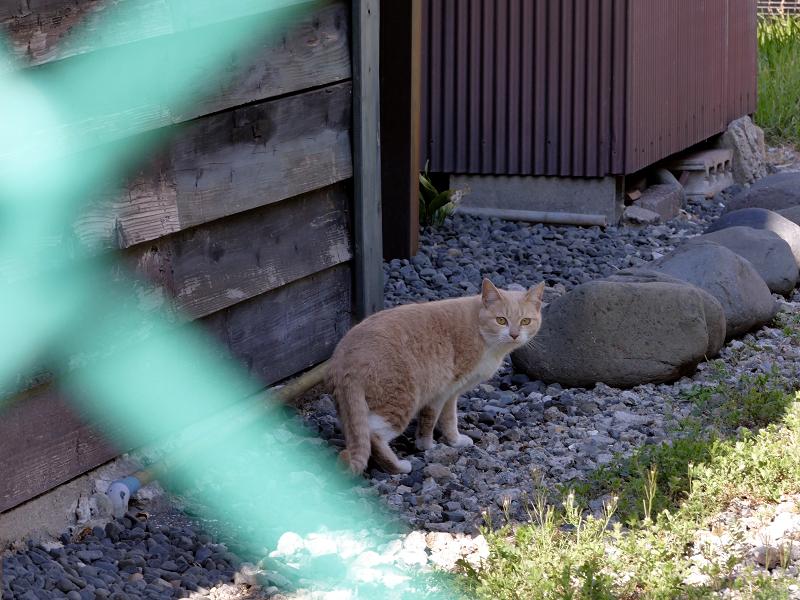 民家の裏に入る猫1