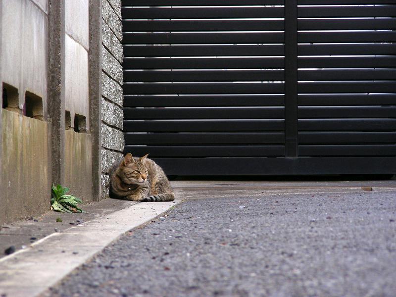 駐車場片隅のキジトラ猫1