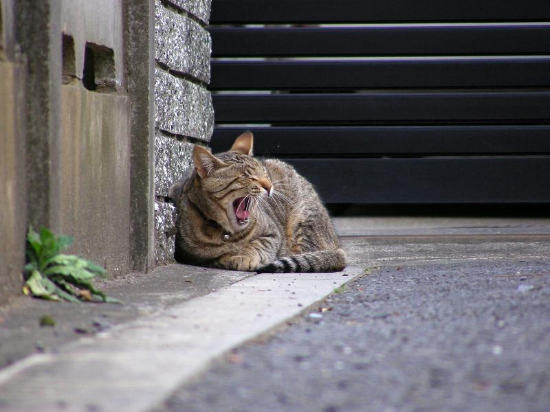 駐車場片隅のキジトラ猫2
