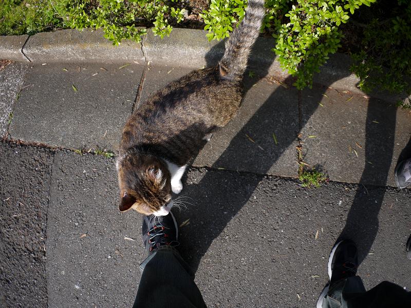 足元で擦り付けるキジ白猫1