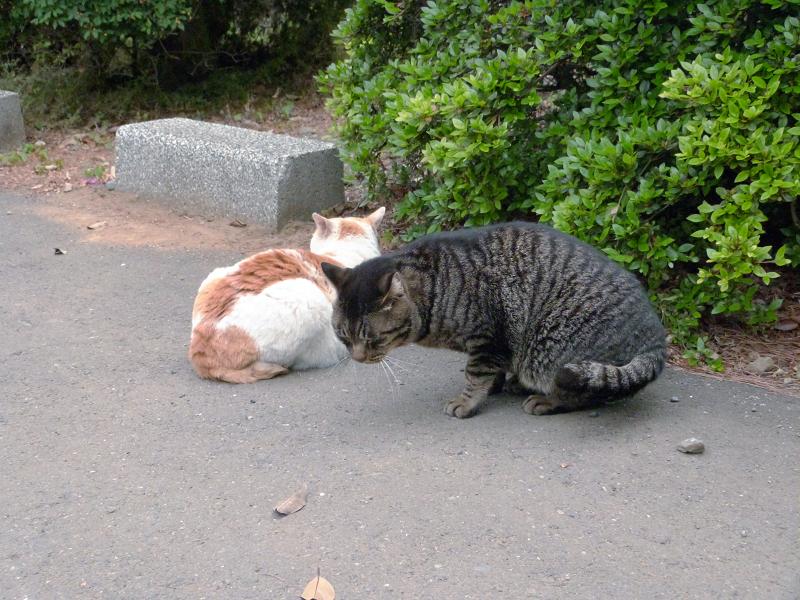 白茶猫とキジトラ猫1