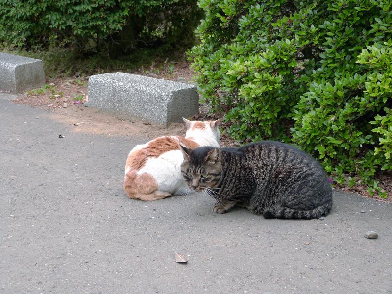 白茶猫とキジトラ猫2