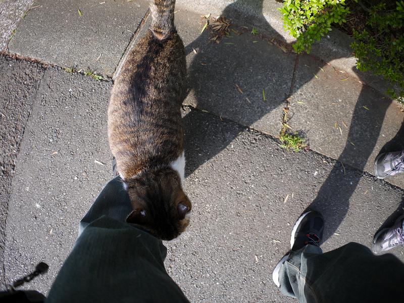 足元で擦り付けるキジ白猫3