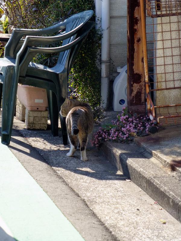 住宅地を歩くキジ白猫1