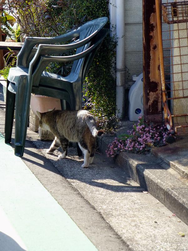 住宅地を歩くキジ白猫2
