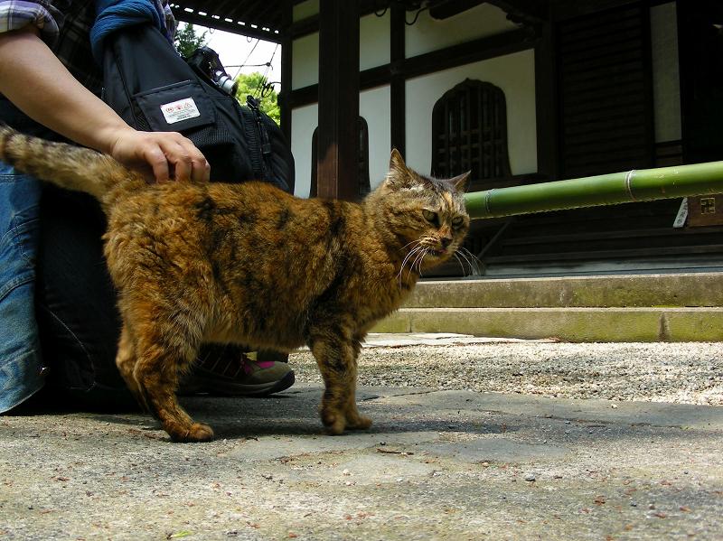 腰を擦られるサビ柄猫1
