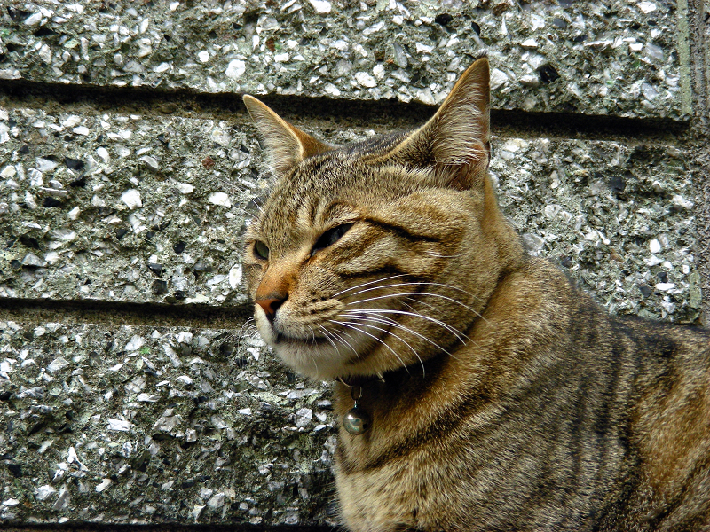 塀際のキジトラ猫1