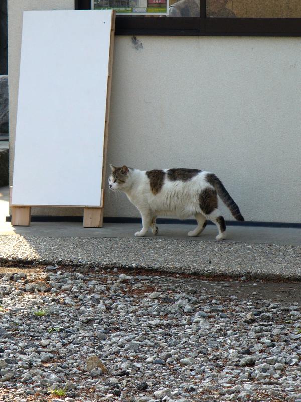 看板前の白キジ猫1