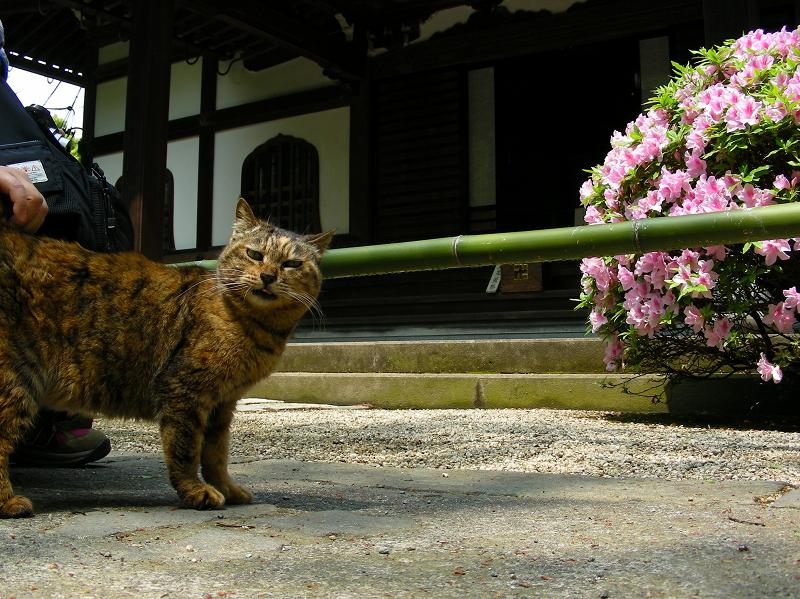 腰を擦られるサビ柄猫2