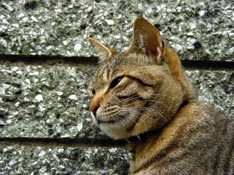 塀際のキジトラ猫4