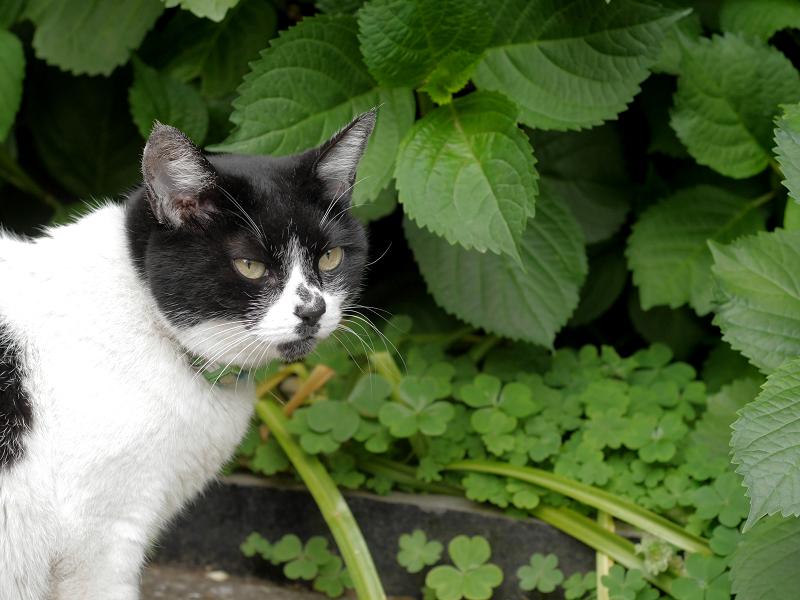 あじさいの葉の前の白黒猫