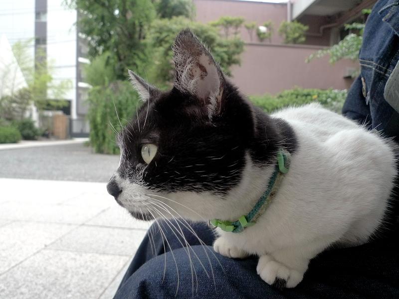 膝に乗ってる白黒猫3