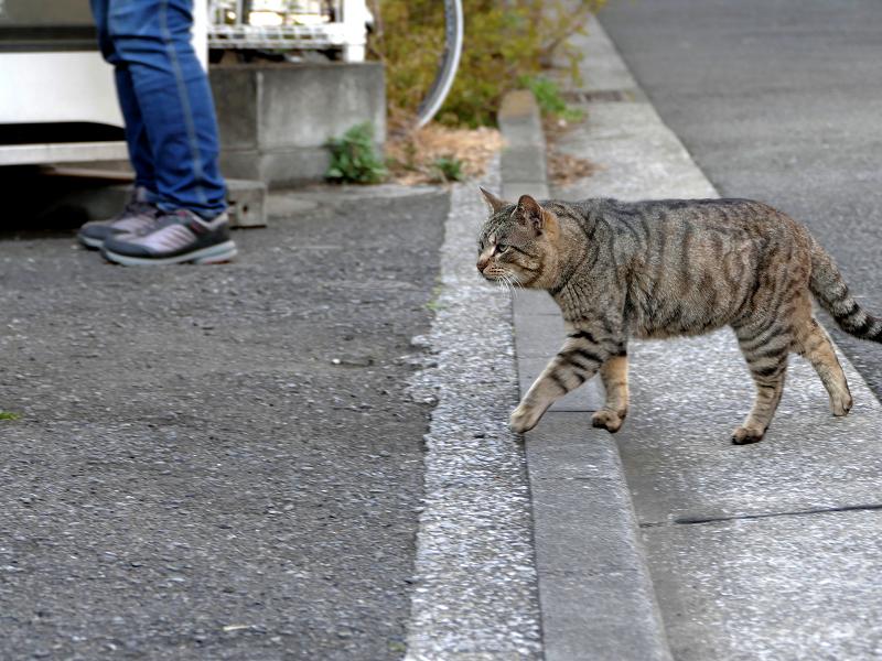 歩いてきたキジトラ猫1