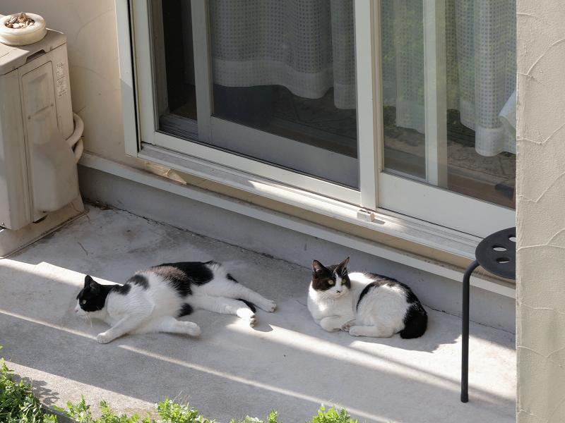 崖下にいた黒白猫たち1