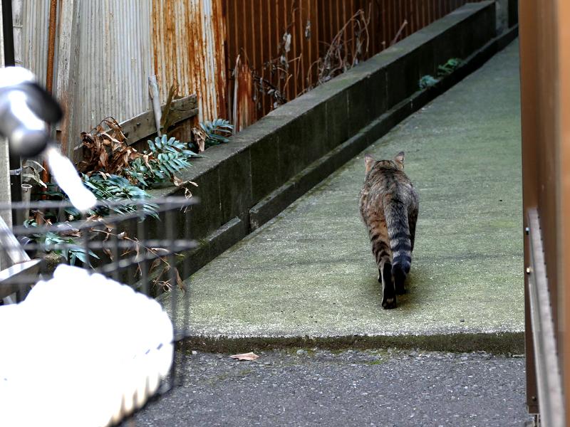 歩いてきたキジトラ猫2