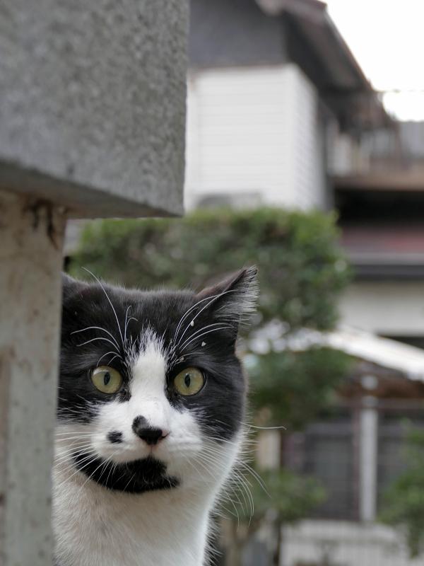 ビックリ顔の黒白猫2