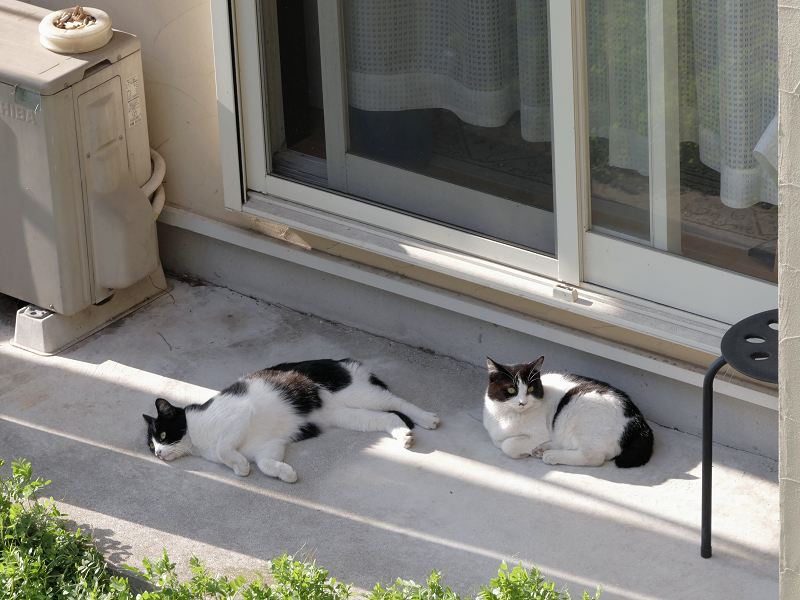 崖下にいた黒白猫たち2