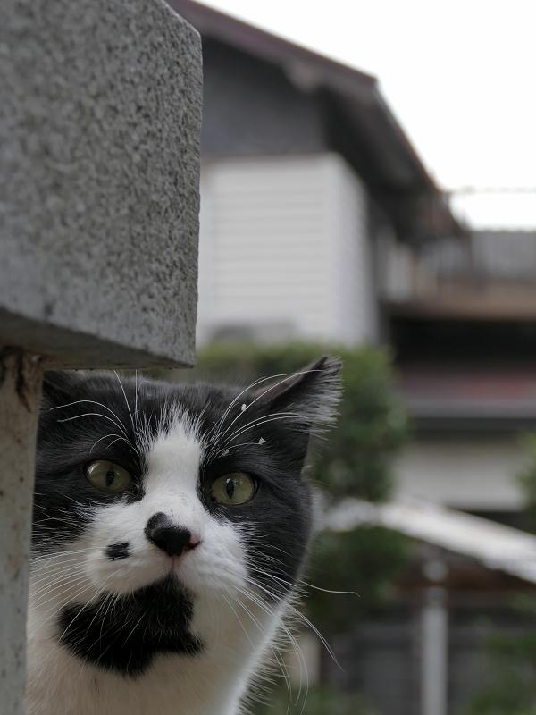 ビックリ顔の黒白猫3