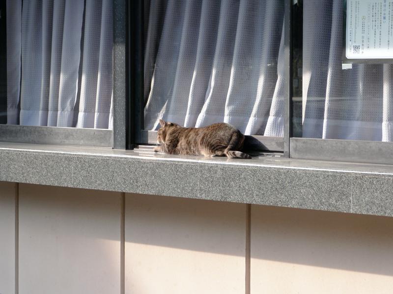社務所のキジトラ猫1