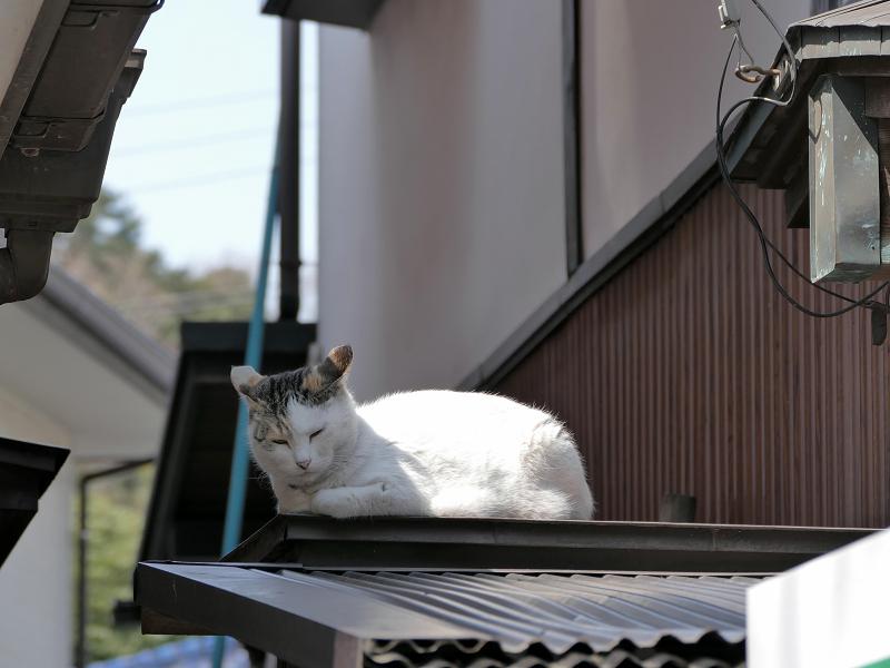 トタン屋根の三毛猫1