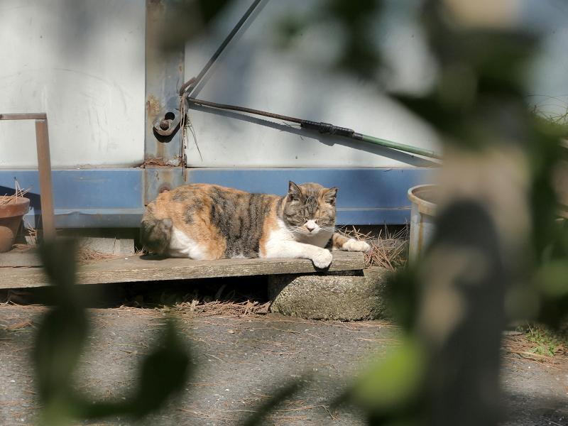 板の上で寝る三毛猫1