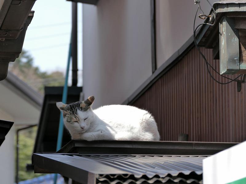 トタン屋根の三毛猫2