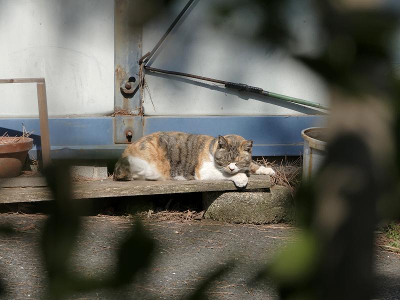 板の上で寝る三毛猫2