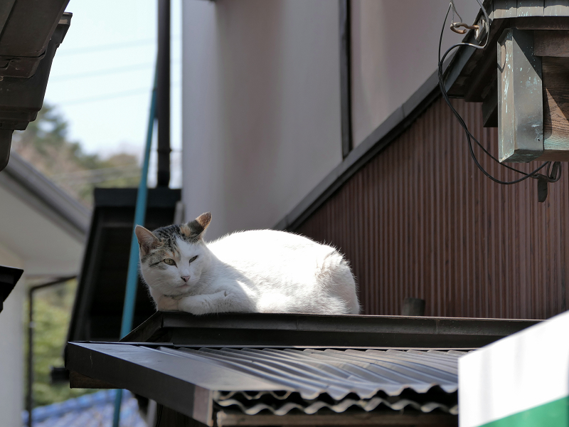 トタン屋根の三毛猫3