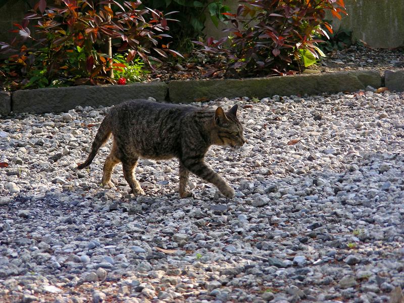 境内を歩くキジトラ猫1