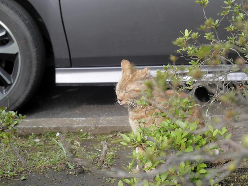木の向こう側でアクビをするアメショー風猫1