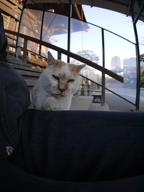 膝に乗ってくる白茶猫2