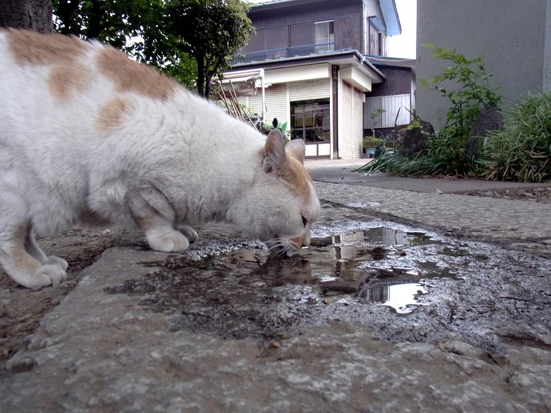 参道の溜まり水を飲む白茶猫2