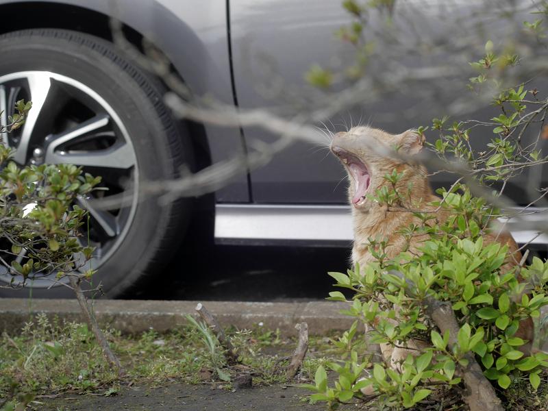 木の向こう側でアクビをするアメショー風猫4
